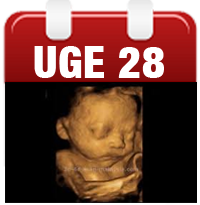 Gravid uge 28