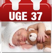 gravid uge 37