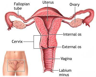 hvad vejer en livmoder