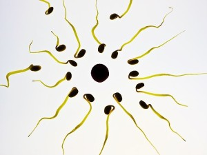 sæd og æg under mikroskop