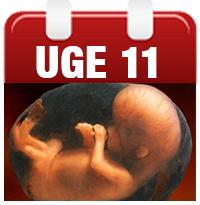 gravid uge 11