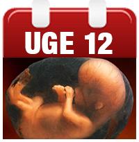 gravid 12 uge