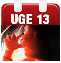 Gravid - Uge 13 - lær alt om babys udvikling på Graviditet.dk