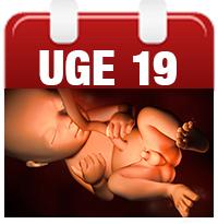 gravid uge 1