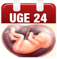 15 uger gravid